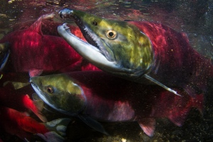 Mature sockeye salmon headed to the spawning grounds, Wood River System, Alaska. Credit: Jonathan Armstrong
