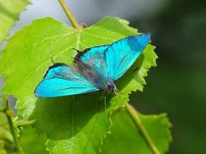 This butterfly species, Favonius orientalis, prefers large, consolidated woodland habitats.