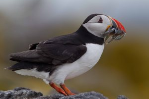 Puffins are distinctive and easily identifiable on land, but photos from above the sea surface often identify them only as auks. © Edmund Fellowes