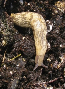 Mollusks, such as the gray garden slug Deroceras reticulatum, are unaffected by neonicotinoids, but pass the insecticides to their predators. Photo by Margaret Douglas.
