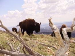 A small group of bison grazing on the Henry Mountains. Photo by Dustin Ranglack