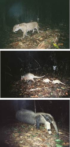 Caught in the camera trap: jaguar (top); nine-banded long-nosed armadillo (middle); anteater (bottom). Pictures courtesy of Mathias Tobler.