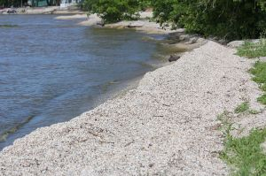 Zebra mussels line the shore on Green Bay at Red River County Park in Kewaunee County Wisconsin. Picture courtesy of Royalbroil Wikimedia Commons