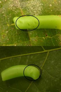 Dummy caterpillars made of plasticine; lengths of 2cm (Photo: Bea Maas)