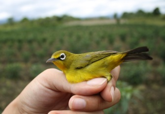 The Lemon-bellied White Eye (Photo: Bea Maas)