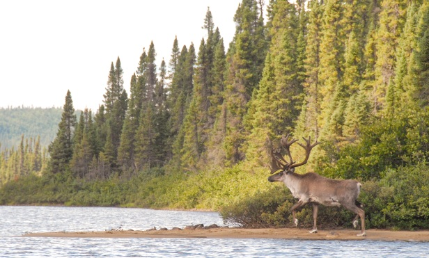 Caribou along the Moisie river in July 2013. Photo credit: Gilles Duchesne.