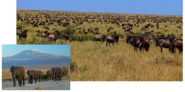 "Majestic African animal migrations. Main image: ""Wildebeest-during-Great-Migration"" by Bjørn Christian Tørrissen - Own work by uploader, http://bjornfree.com/galleries.html. Licensed under CC BY-SA 3.0 via Wikimedia Commons. Inset: By Amoghavarsha amoghavarsha.com (Own work) CC BY-SA 3.0 via Wikimedia Commons."