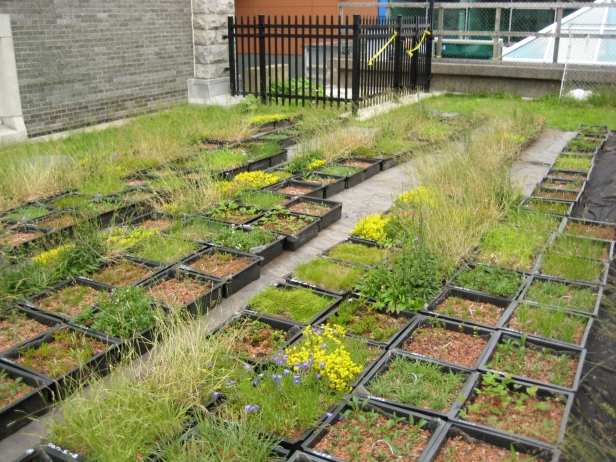 Figure 2. Plant diversity experiment at Saint Mary's University, Halifax, Canada. (Photo: J.S. MacIvor).