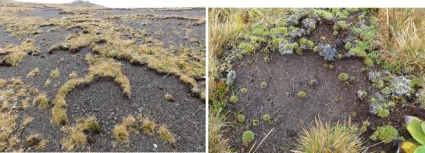 I visited Macquarie Island last month. Widespread death of both cushion and bryophytes is still occurring and in some places, all that is left is semicircular strips of grass indicating where a cushion once grew (left image below). But there was some bright news. After a very wet summer most surviving plants were firm to touch (previously they were soft) indicating full turgor, and some plants are showing some recovery (right image below).  Furthermore, the insurance population of 54 irrigated plants set up on the island for seed collection is doing well.