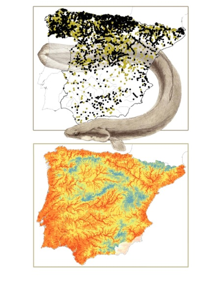 Upper map: distribution of localities with information on freshwater fish included in the Madoz, identifying those where the eel was recorded (black dots) and those where it was not (dark yellow dots). Lower map: Probability of occurrence of the eel in the Iberian Peninsula in the 19th century, based on the records shown above. Estimates derive from the ensemble species distribution models using BIOMOD2. Eel drawing by Miguel Clavero.