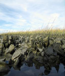 Oyster reef adjacent to a saltmarsh