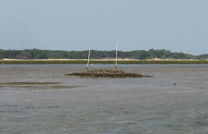 Oyster reef restored on a mudflat