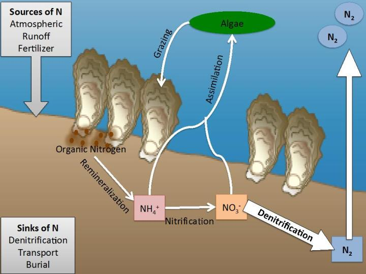 Sediment Nitrogen Cycling in Oyster Reef Ecosystems: Nitrogen fuels algal growth in coastal systems. As the oyster eat the algae they delivery organic N to the sediments. This nitrogen undergoes a series of complex reactions and some of the nitrogen may be converted to N2 gas and be removed from the system.