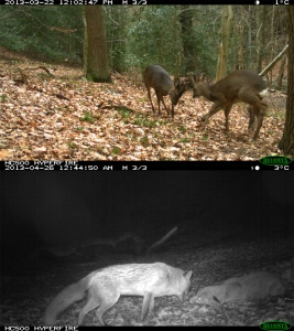 Wild mammals in County Durham, UK caught by camera traps, including roe deer Capreolus capreolus, and red fox Vulpes vulpes.