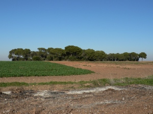 Woodland remnants in the Guadalquivir Valley are typically small and highly disturbed, and surrounded by an agricultural matrix. Photo credit: Juan P. González-Varo.