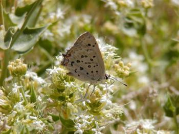Great Copper butterfly Lycaena xanthoides. Creative Commons license, Jeffrey Oliver.