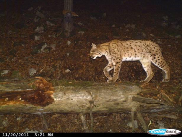 Lynx. Picture courtesy of KORA.
