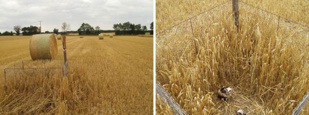 A nest protected with a fenced buffer, one of the most effective interventions identified. The fence is visible among the standing crop retained around the nest, while the rest of the field was harvested (left picture). The Montagu's harrier nestlings (right picture) remain within the fence until they are ready to fledge (Pictures courtesy of Santangeli, A).