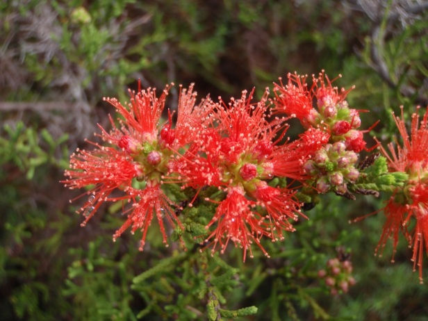 Flowers of the fire-sensitive shrub Petraeomyrtus punicea, endemic to the Arnhem Plateau. (Photo: Clay Trauernicht)