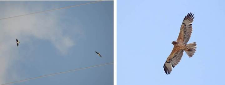 Bonelli's eagles in flight. Picture credits: VivekMalleshappa (Wikimedia commons) and Birdwatching Barcelona (Flickr).