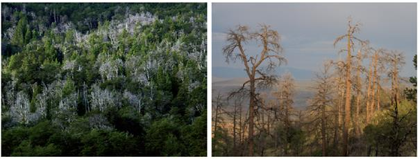 Images of climate-induced forest die-off. Left: Nothofagus dombeyi mortality at Rio Manso Inferior, northern Patagonia, Argentina, 2004 (Photo by Thomas Kitzberger). Right:  Pinus ponderosa die-off, Jemez Mountains, New Mexico, USA, 2006 (Photo by Craig D. Allen).
