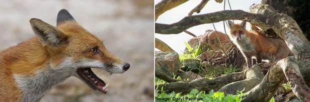 Australian foxes.