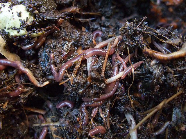 Earthworms in the soil. Photo credit:  Yun Huang Yong (flickr.com; https://creativecommons.org/licenses/by/2.0/).