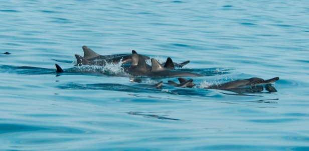 Dolphins resting.