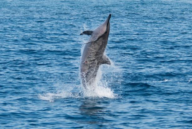 Spinning dolphin.