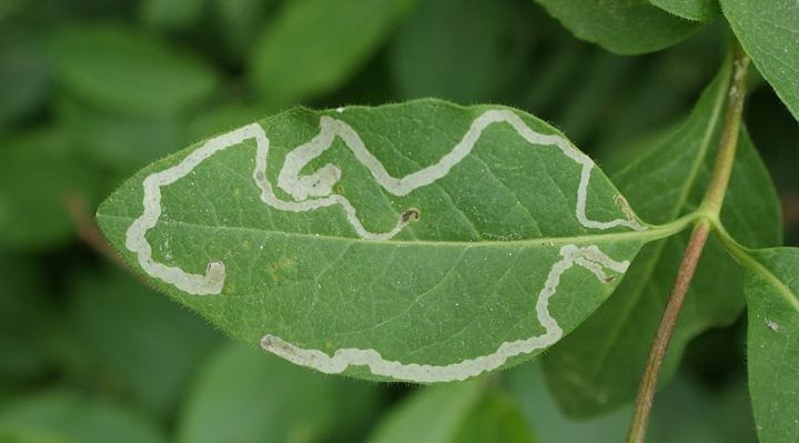 Leaf mining in the Lonicera periclymenum leaf (Diptera). Photo credit: Kenraiz Krzysztof Ziarnek, Wikimedia Commons.