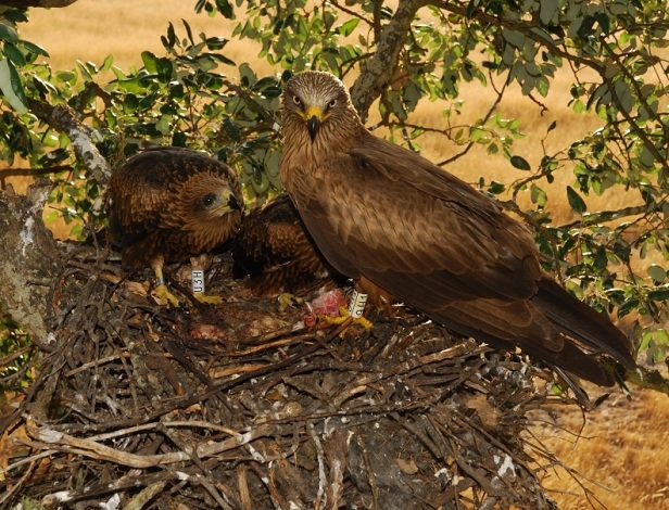 Marked black kite adult with marked chicks ( Photo credit F. Sergio)