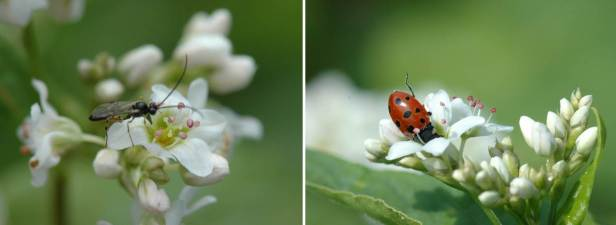 Natural enemies visiting buckwheat flower strips. D. semiclausum (left) and ladybird (right). Photo credit: Mattias Jonsson.