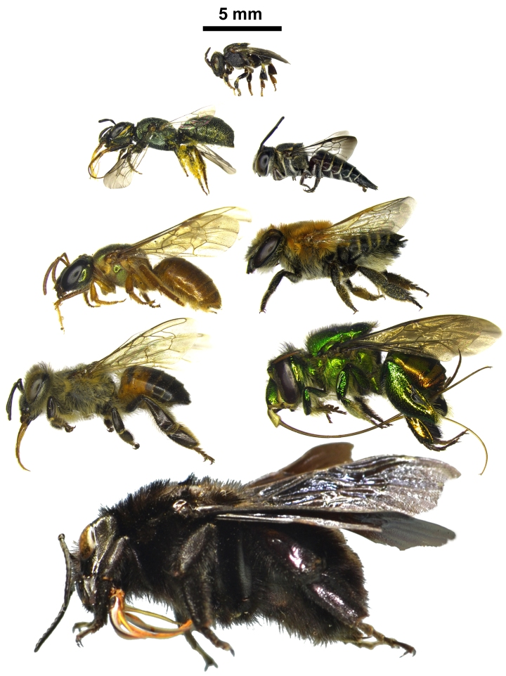 Different body sizes and tongue lengths for bees, which were the main traits analysed in the paper. The genus of the bees are as follows (from bottom to top, from left to right): Bombus, Apis, Euglossa, Megalopta, Megachile, Ceratina, Coelioxys, e Nannotrigona. Photo credit: T.Mahlmann.