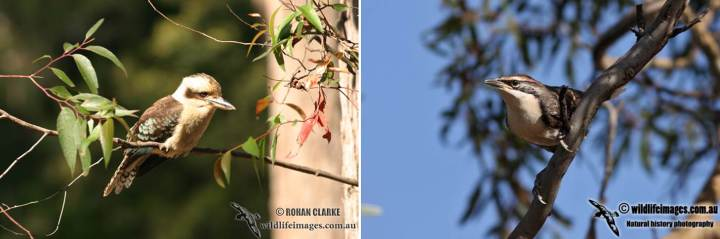 Kookaburra (left) and grey crowned babbler (right). Photos courtesy of Rohan Clarke (http://www.wildlifeimages.com.au/).