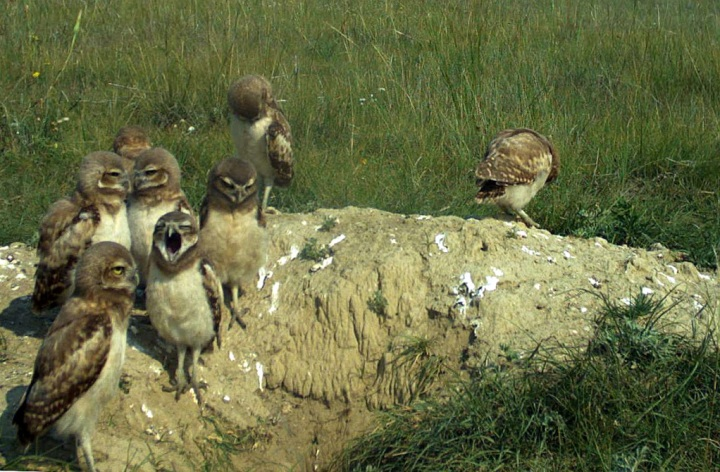A brood of 8 burrowing owl chicks, which is an unusually high number for our study area (Photo credit: T. Wellicome).
