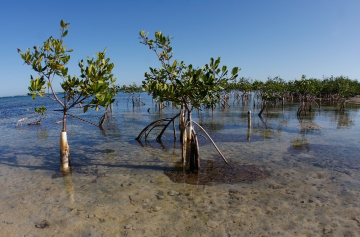 Mangrove restoration in Puerto Rico in a Bahia open to the sea (Photo credit: Bill Hubick).