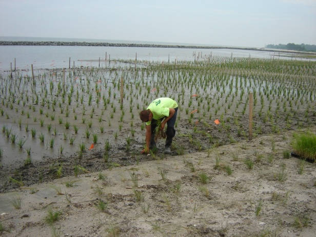 Revegetation of coastal wetlands with Spartina sp. in Eastern USA (Photo credit: Ecosystem Restoration and Management, Inc.).