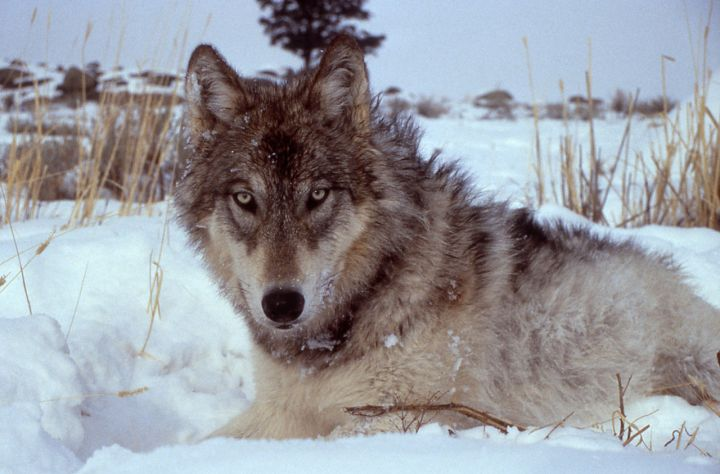 Wyoming's wolves