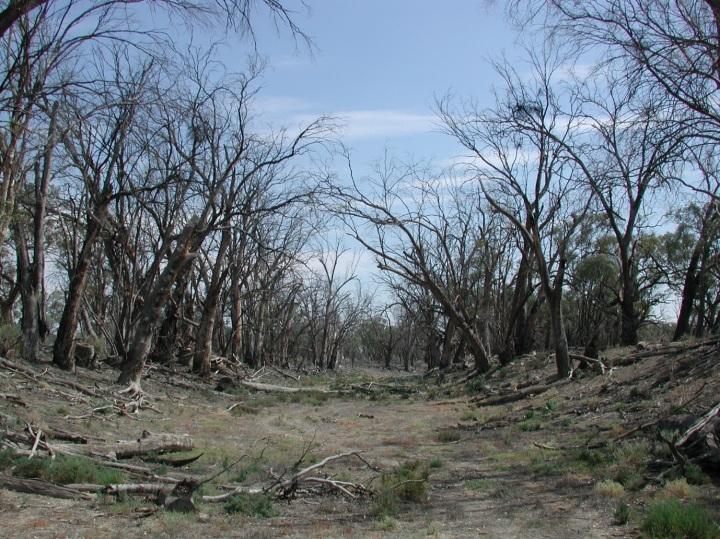 Widespread mortality of floodplain trees