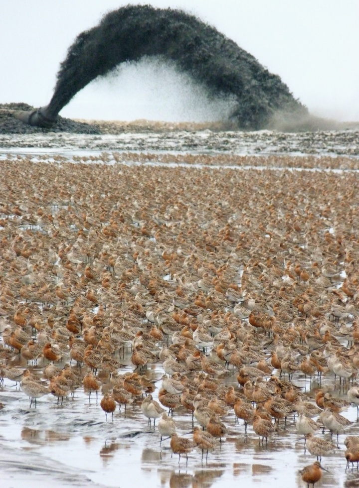 Bar-tailed godwits under assault