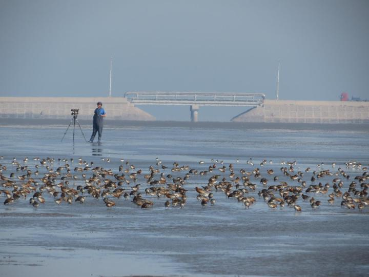 flock of red knots