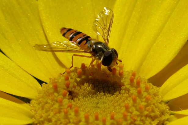 zoophagous hoverfly