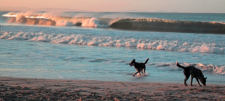 Dogs playing in the waves