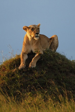 african lions research paper But now a paper about  west african lions—historically referred to as  the research team conducted in-person surveys in 13 of the 21.