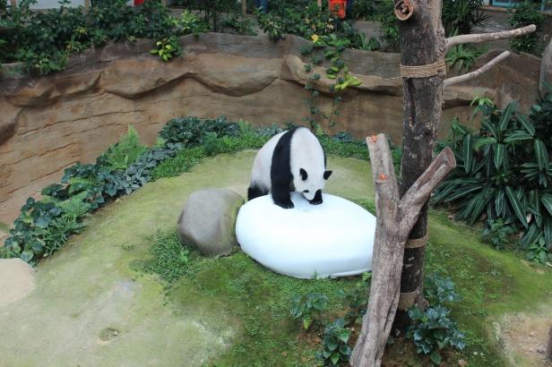 Giant Panda in Zoo Negara