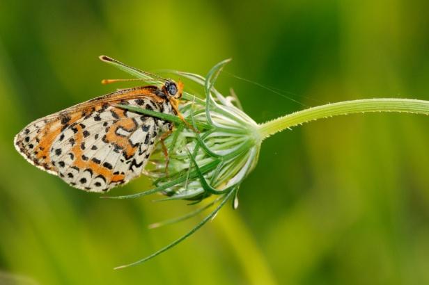 Granville Fritillary Butterfly