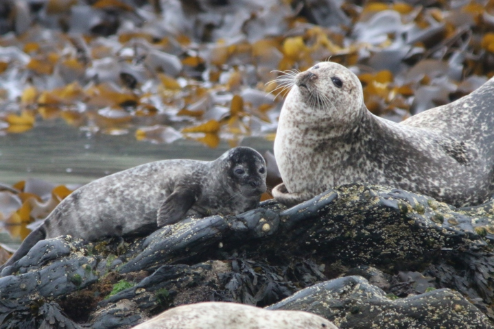 harbour_seal3_credit-Monica Arso_SMRU