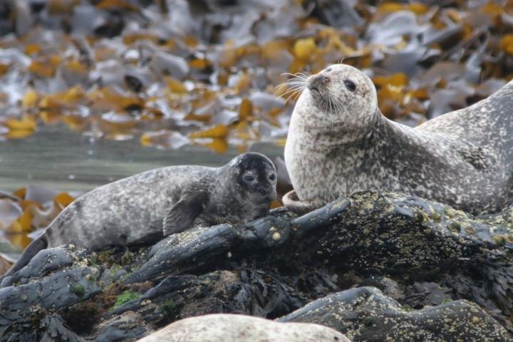 harbour_seal3_credit-Monica Arso_SMRU