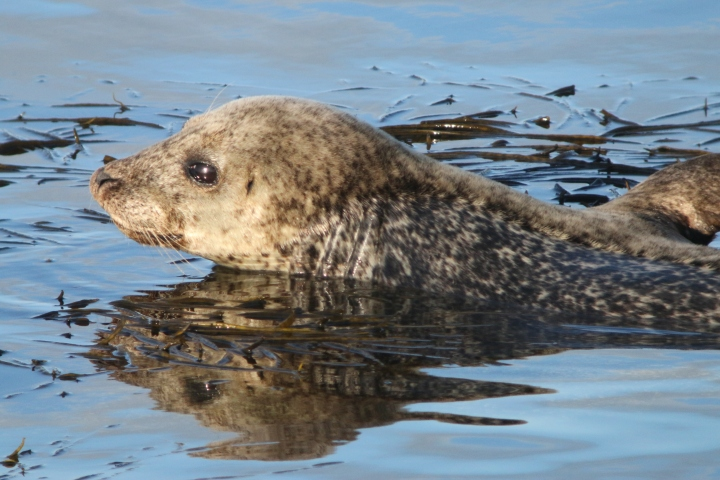 harbour_seal6_credit-Monica Arso_SMRU