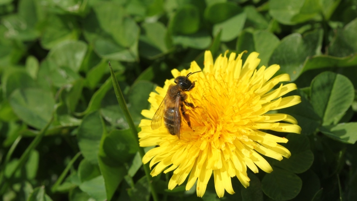Andrena nigroaenea on Taraxacum officinale